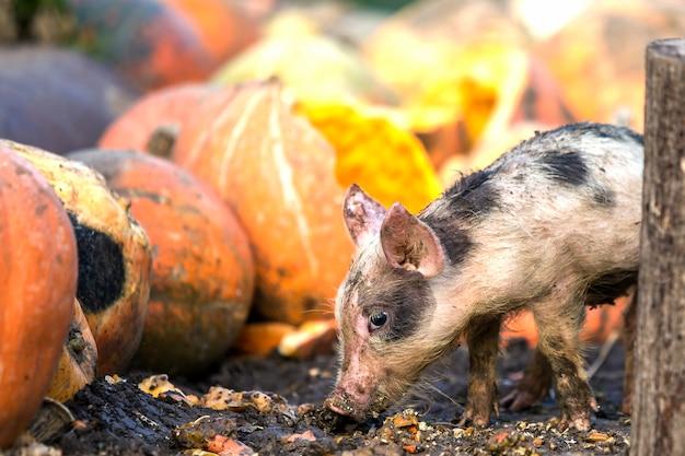 Малый молодой смешной пакостный поросенок розовой и черной свиньи подавая outdoors на солнечной ферме кучи больших тыкв. свиноводство, производство натуральных продуктов питания.