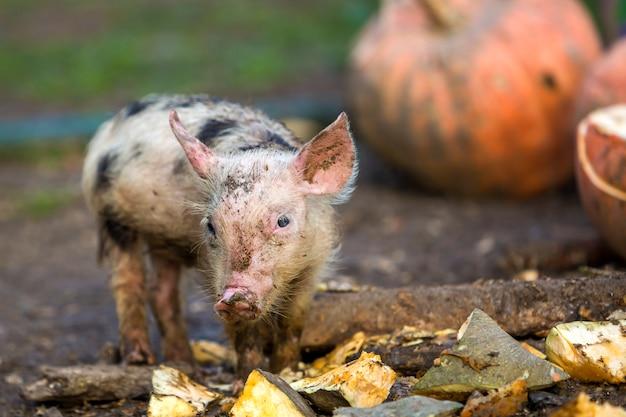 Малый молодой смешной пакостный поросенок розовой и черной свиньи подавая outdoors на солнечной ферме кучи больших тыкв. свиноводство, производство натуральных продуктов.