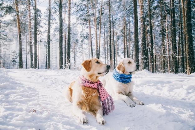 Портрет шарфа собаки нося outdoors в зиме. два молодых золотистых ретривера играют в снегу в парке. одежда