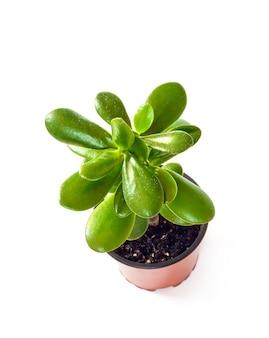 分離された植木鉢のクラッスラ属ovata
