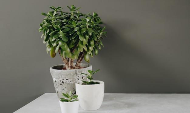 観葉植物クラッスラ属ovataヒスイ植物金の壁の反対側。