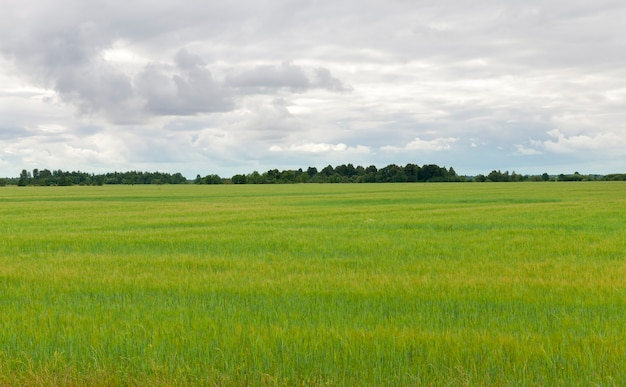 Overcast weather on agricultural field with green barley with long , summer landscape