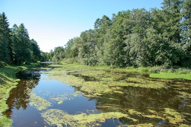ウキクサと藻類が生い茂る夏の川