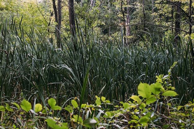 Заросшая вода в болоте, зеленое лесное озеро, заросшее ряской