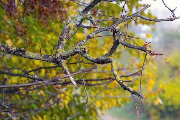 秋の森、古い森の古木の地衣類の枝が生い茂る
