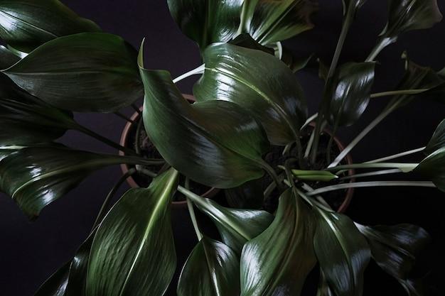 鉢植えのeucharis植物のオーバーヘッドのクローズアップ