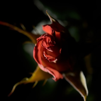 Overhead closeup shot of a red garden rose with a blurred wall