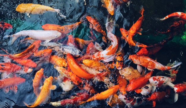 Overhead shot of colorful koi fish gathered all together in the water