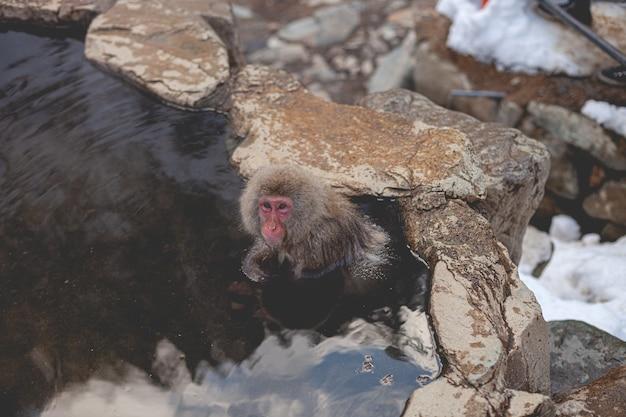 Scatto dall'alto di una scimmia macaco in acqua mentre guarda la telecamera
