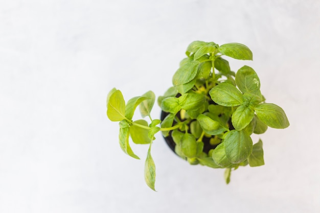 An overhead view of basil potted plant against white background