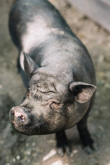 An overhead view of black pig