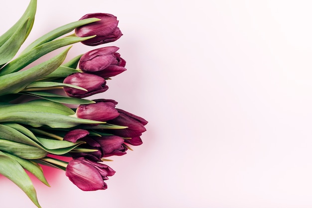 Overhead view of fresh red tulip flowers over pink background