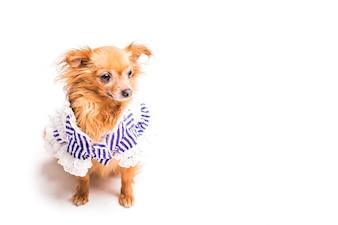 Вид сверху милая коричневая собака на белом фоне