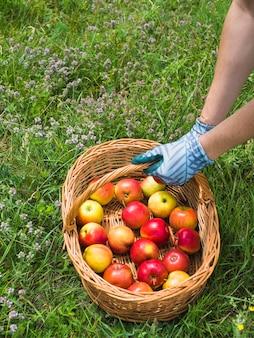 Overhead view of gardener holding apples in basket