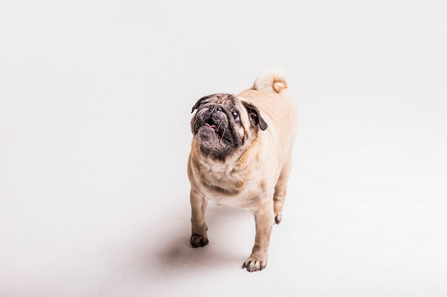 Overhead view of pug dog looking up