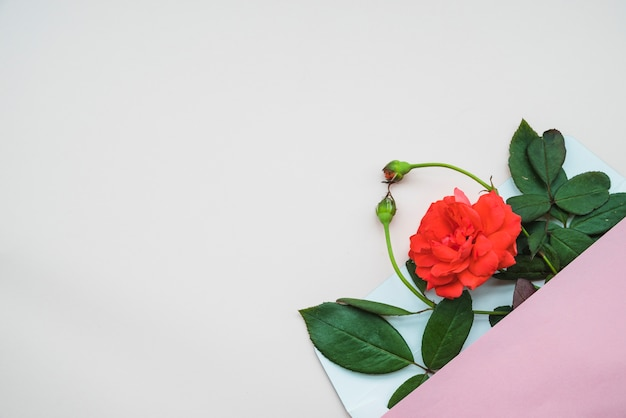 Overhead view of rose buds and flowers in an open envelope over white background