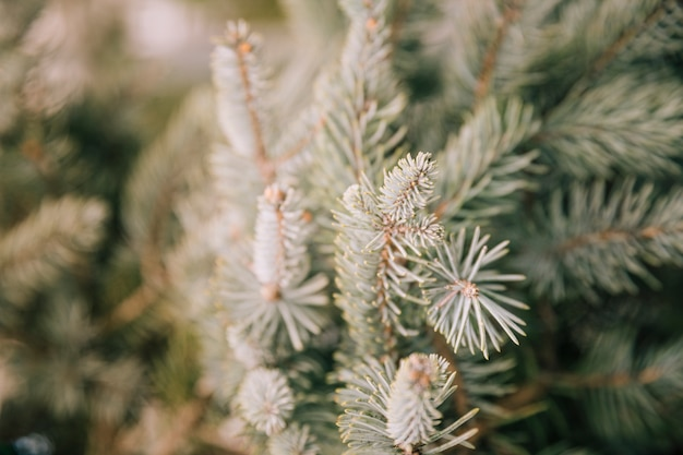 An overhead view of spruce needles on a branches