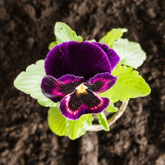 An overhead view of violet pansy flower on potted plant