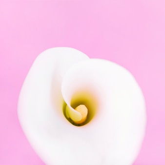 An overhead view of white arum lily on pink background