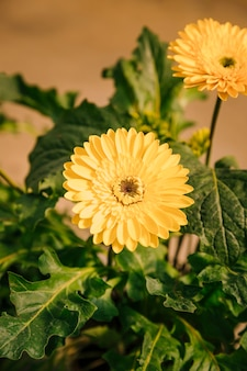 An overhead view of yellow gerbera flower plant