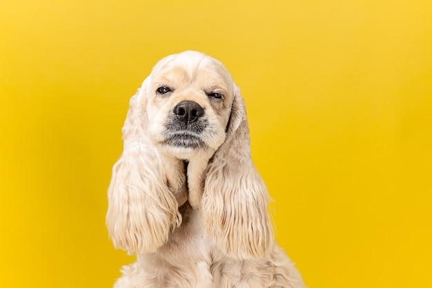 Dormito troppo. cucciolo di spaniel americano. il cagnolino o l'animale domestico lanuginoso curato sveglio è seduto isolato su priorità bassa gialla. servizio fotografico in studio. spazio negativo per inserire il testo o l'immagine.