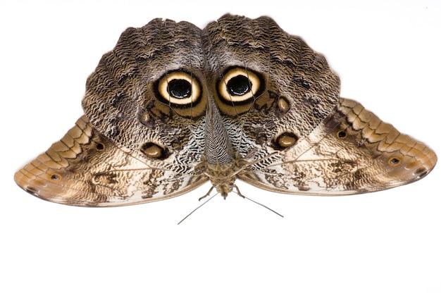 Бабочка сова - бабочка калино мемнона в на белом изолированные