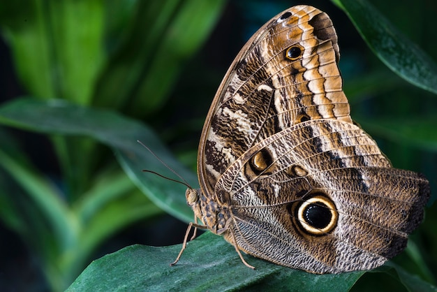 Owl butterfly in tropical habitat
