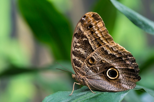 Owl butterfly with blurry background