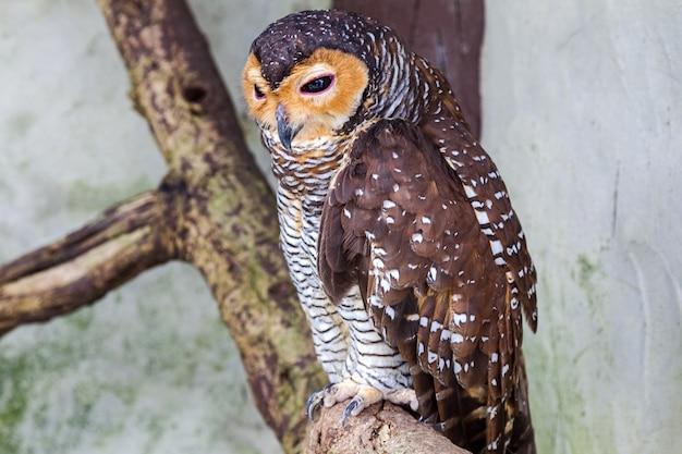 Owl on a dry tree.