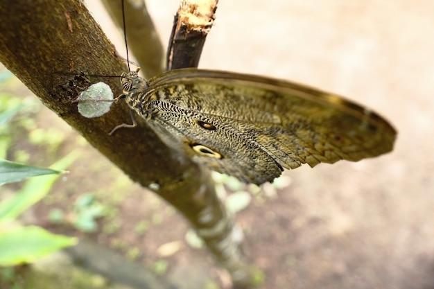 Owl eye butterfly (caligo eurilochus)