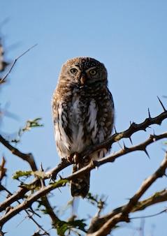 クルーガー国立公園のフクロウ-南アフリカ