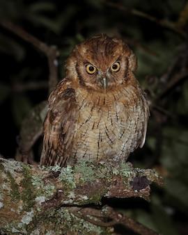 Owl perched on a mango tree 0