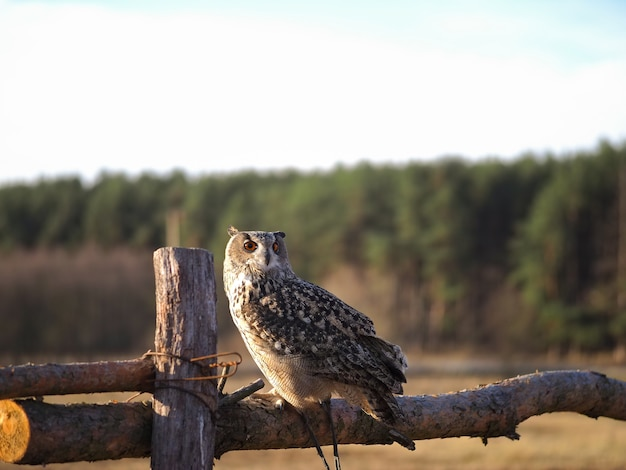 An owl sits on a wooden fence in a field