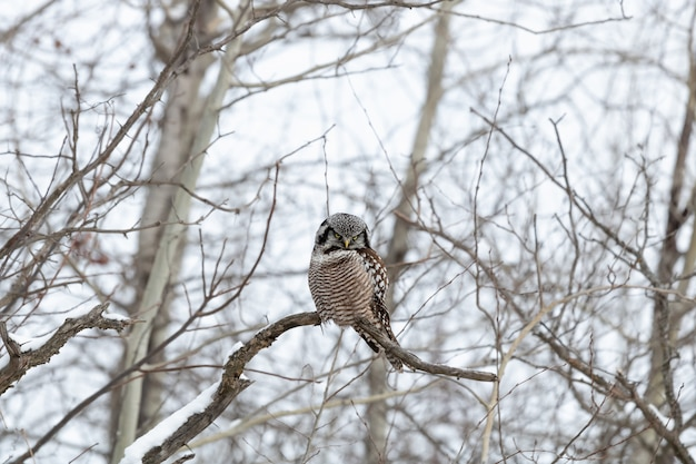 Owl sitting on a branch in winter during daytime