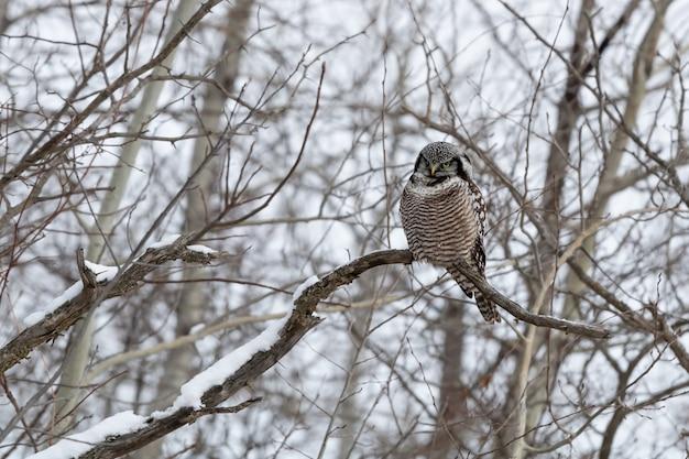 昼間の冬の枝に座っているフクロウ