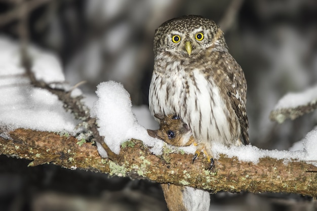 Owl sitting on snow-covered branch