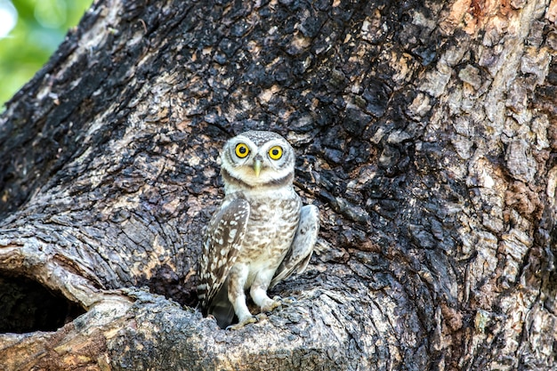 Owl, spotted owlet(athene brama) looking at in nature