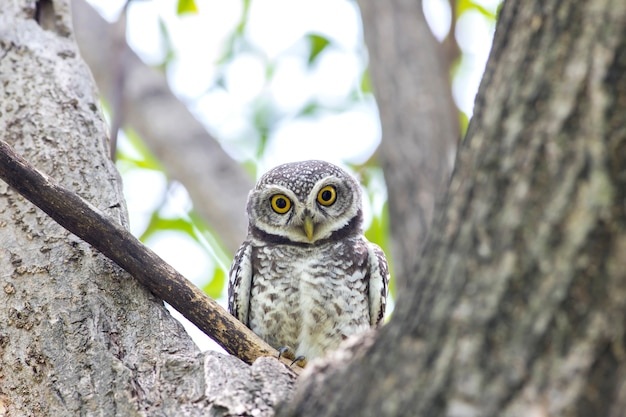 Owl, spotted owlet(athene brama) in nature