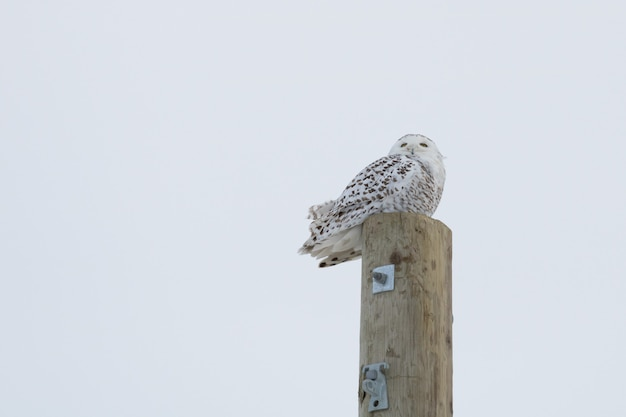 Owl in the stick