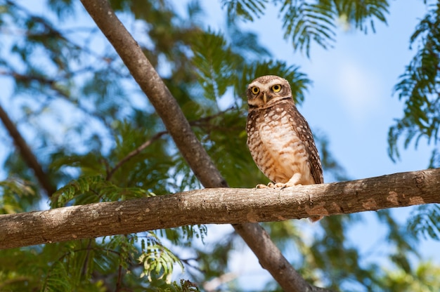 Owl on tree branch, looking