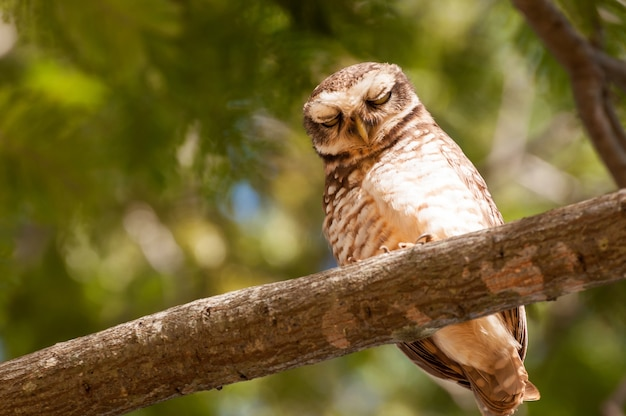 Owl on tree branch with eyes closed