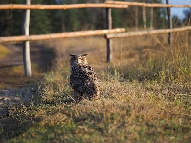 An owl walks on the grass. evening light. Premium Photo