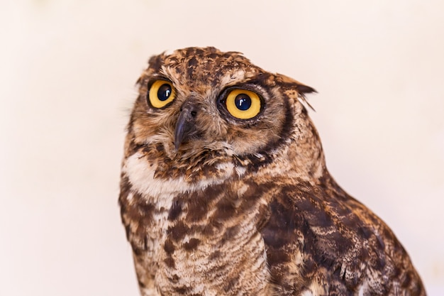 Owl on white background with yellow eyes. owl in the white background.