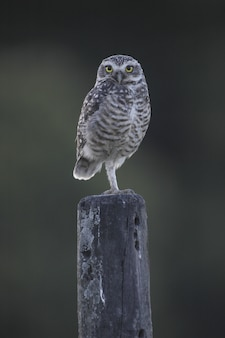 Owl with beautiful yellow eyes sitting on a wooden column