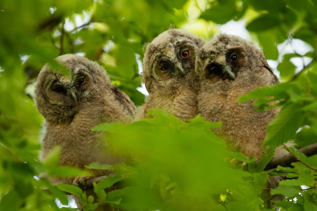 Owls in grey and brown color looking at the camera among some leaves