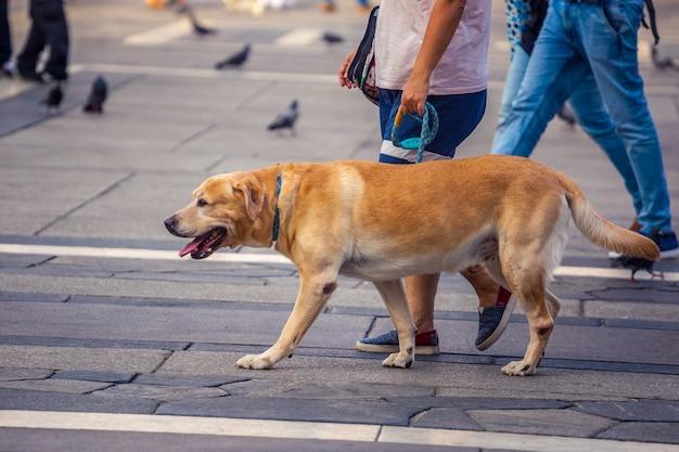 Собака владельца и лабрадора гуляет в городе на несосредоточенном фоне.