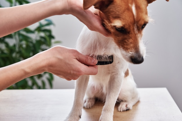 Owner combing her jack russell terrier