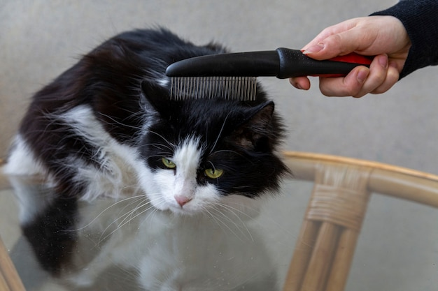 The owner is combing the fur of a fluffy domestic cat pet animal care veterinary medicine hair care grooming