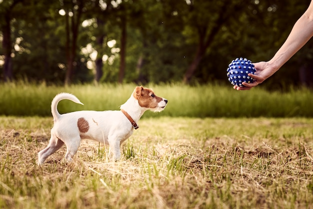 소유자는 공원에서 잭 러셀 테리어 강아지와 함께 재생