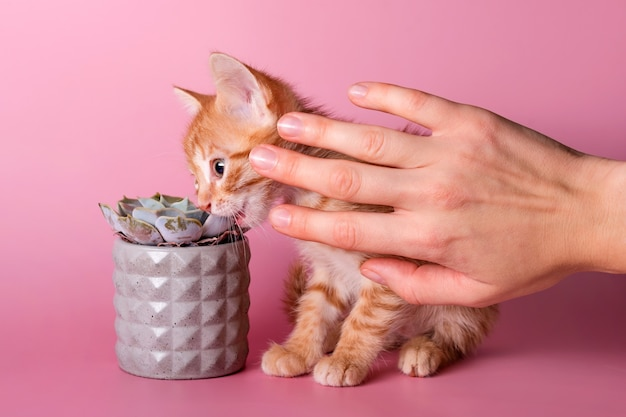 Owner stops the kitten biting the cactus. cute ginger small cat eats houseplants instead of special herb for cats. pets and plants, stop eating houseplants.